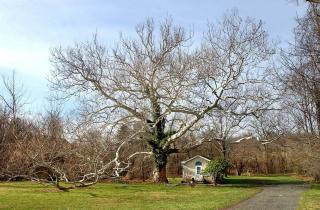 The Pawling Sycamore