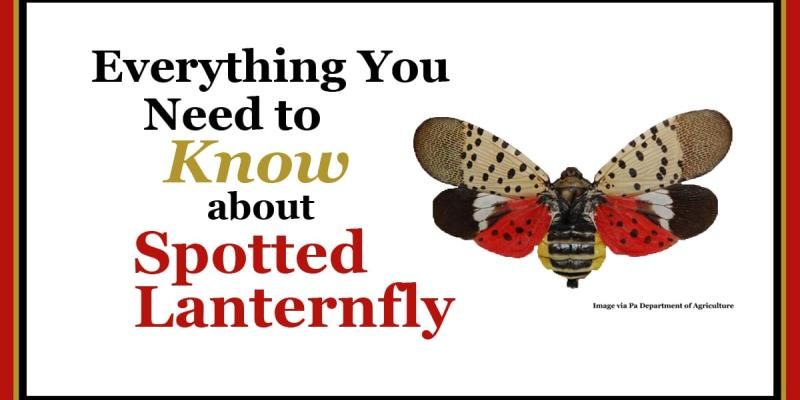 Spotted Lanternfly graphic